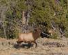 Big Male Elk in Yellowstone National Park near the Gardiner River, September 12, 2008.