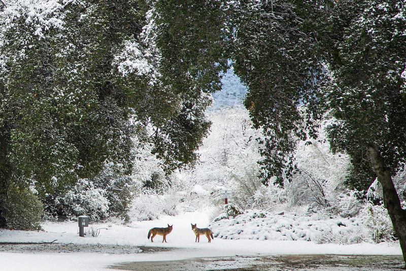 Coyotes at Silent Valley Club in the San Jacinto Mountains of Southern California. Feb 9, 2013.