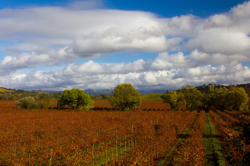 This vineyard near Santa Rosa, California has been harvested but still has many of the fall colored grape leaves attached to the vines. A deep blue sky and cumulus clouds give this a nice touch. Nov 17, 2012