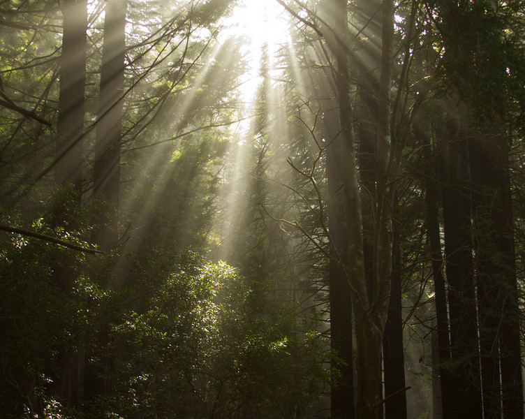 Along the Skaggs Springs Road, crepuscular rays through the Redwood Trees. Nov 2010