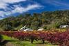 Old Vineyard in Napa Valley (California) in fall time. Nov 2010.
