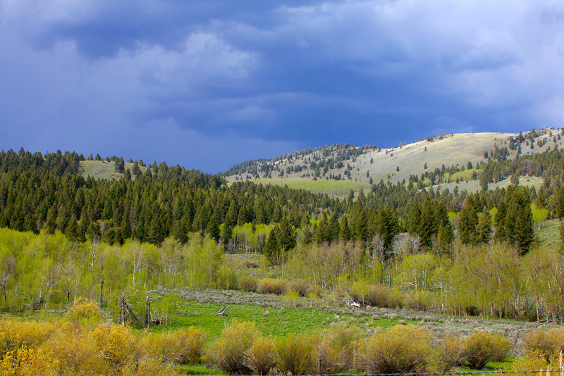 Aspens are leafing out in springtime along Red Rock Road near Island Park, Idaho. May 16, 2012