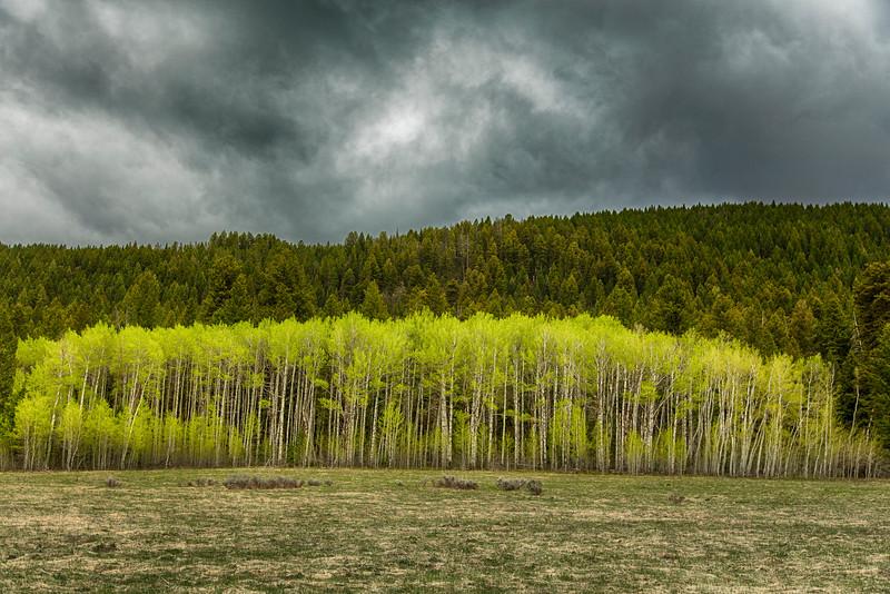 Fresh Leaved Aspen Trees along Red Rock Road