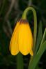 YellowBellsWF_159715