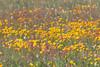 Sunflowers on Gravelly Range Ridge