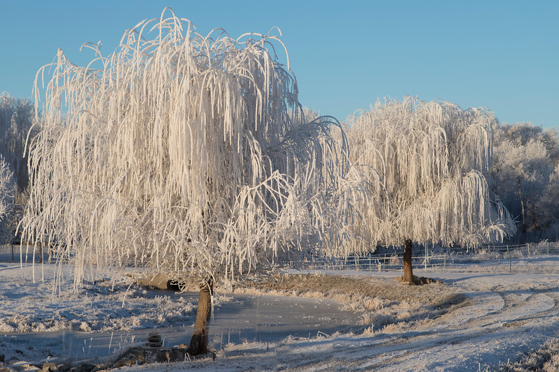 Frosted Willow Trees near Rexburg, ID