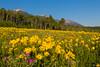 Rocky Mountain Dwarf Sunflowers (Helianthella uniflora)