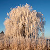 Weeping WIllow frosted