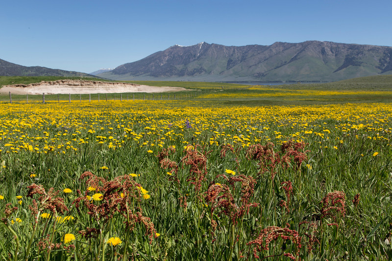 Meadow Vue Ranch next to RedRock RV Park and Henry's Lake Mountains (Black Mountain) with Dandelions and Sorrel. June 2013