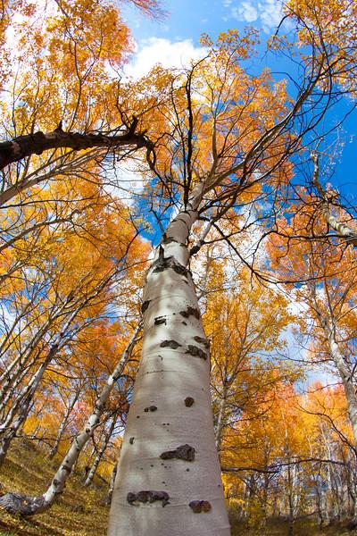 Aspen and fall colors, Idaho