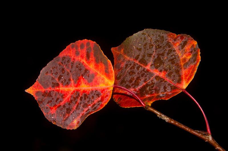 Red Flaming Aspen Leaves