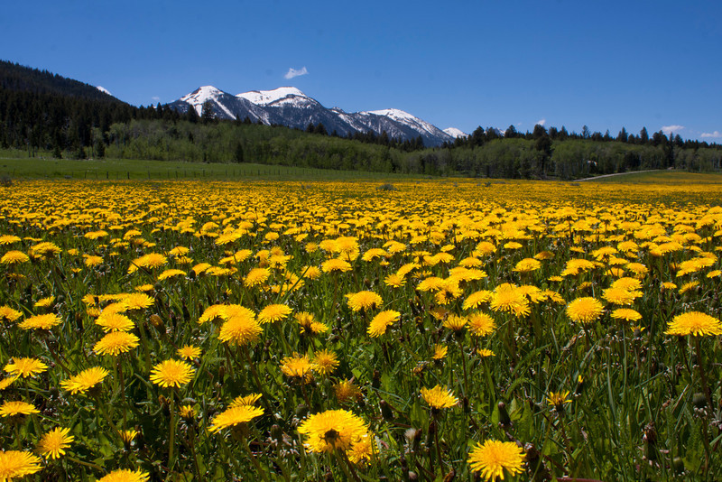 Dandelions fill the ranch next to RedRock RV Park in Island Park Idaho. Behind is Red Rock Mountain, part of the Centennial Range of the Rocky Mountains. June 22, 2011.