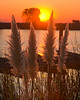 Plants frame a sunrise on the banks of the lower Mokelumne River in the Sacramento River Delta region, near Isleton, CA.