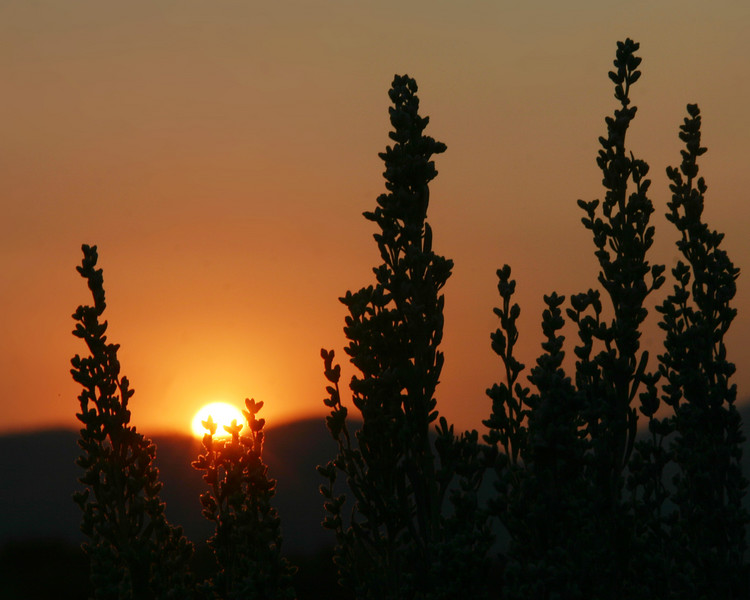Sunrise over Yellowstone through the weeds in Idaho, near Henry's Lake. August 2007