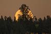 Moon vs Douglas Fir
