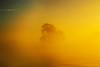 Tree poking through the fog over the Mokelumne River. Isleton, California, Oct 31.
