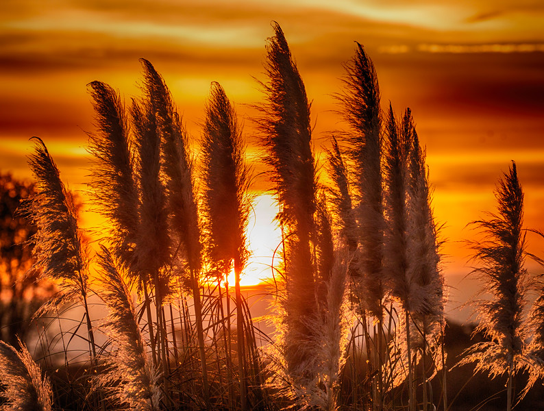Pampas Grass and Sunrise