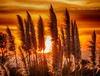 Pampas Grass and Sunrise