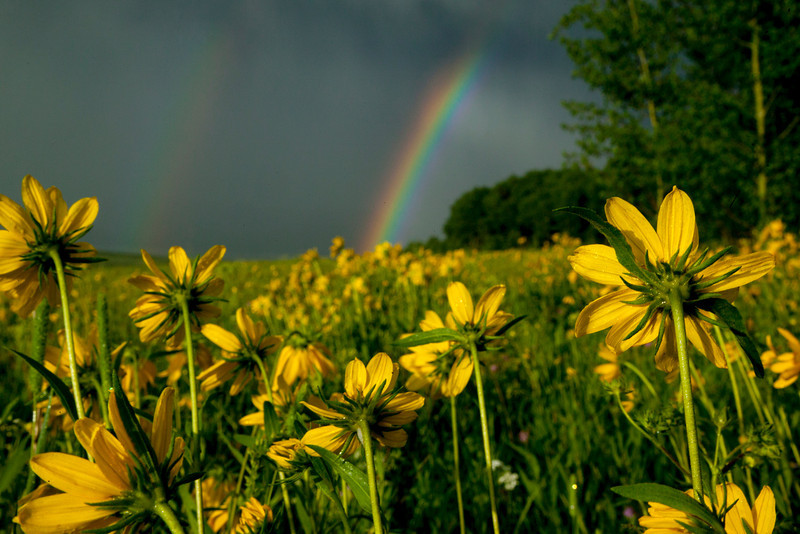 Little Sunflowers & Rainbow
