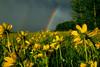 Little Sunflowers & Rainbow