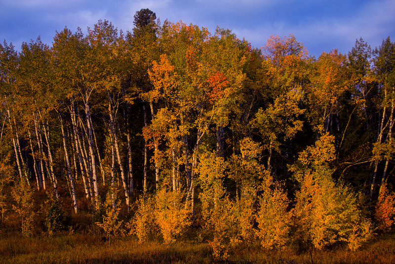 Aspens in their fall colors along Red Rock Road near Henry's Lake. Idaho. Sep 2012.