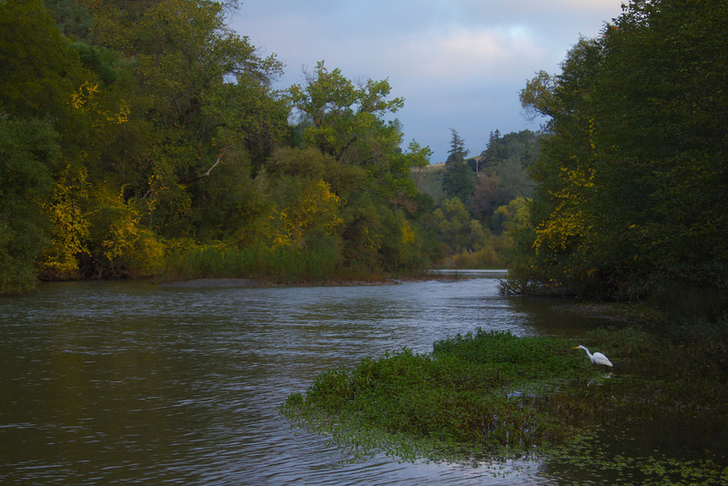 A Great Egret fishing along the Russian River near the Thousand Trails resort near Cloverdale, California. Nov 2010.
