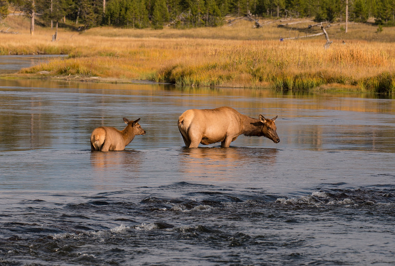 Elk crossing Madison River, Yellowstone Nat'l Park, WY