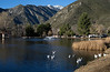 Geese at Mountain Lakes RV Resort, Lytle Creek, CA Jan 2013