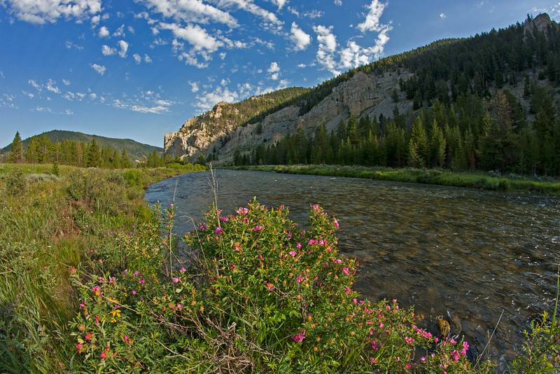 Gallatin River and wild roses, Montana