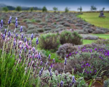 Lavender Farm, Upcountry Kula, Maui