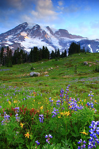 Wildflowers in the morning on Mount Rainier
