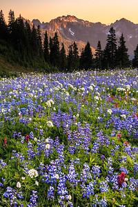 Lupine Meadow