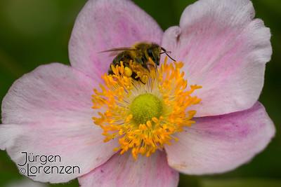 Anemone hupehensis; pink Oriental anemone