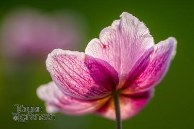pink hollyhock alcea rosea