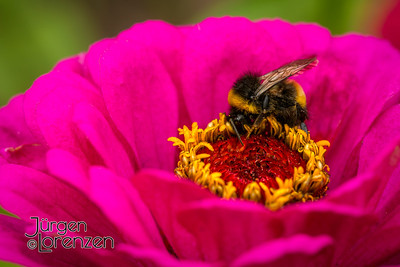pink zinnia with bee