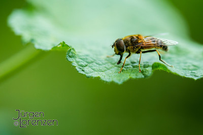 honey bee on hollyhock leaf