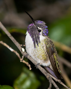 Costa's Hummingbird, male
