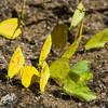 Sulfur Butterflies
