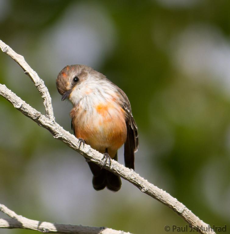 Vermilion flycatcher (juvenile male)