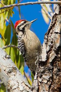 Ladder-backed Woodpecker (male)
