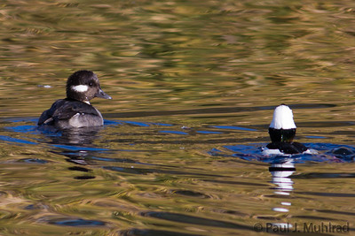 Bufflehead pair