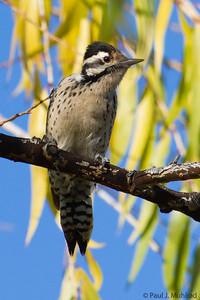 Ladder-backed Woodpecker (female)