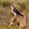 Colorado Birds : Birds of Colorado, mainly from near the Front Range around Boulder.