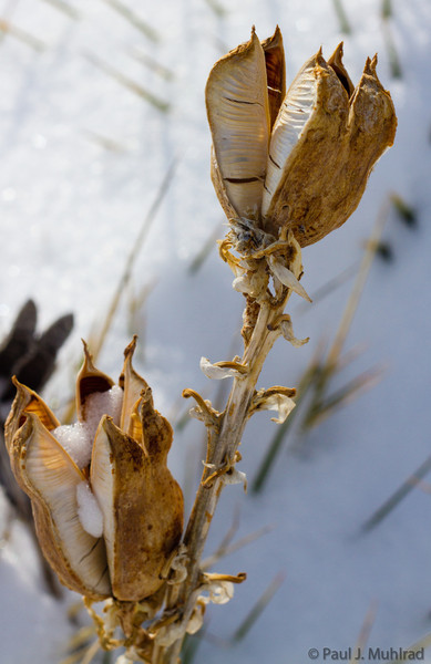 Yucca seed pods
