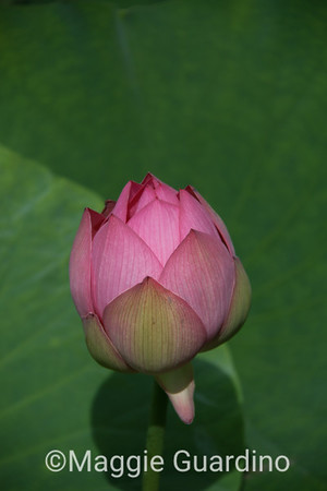 Budding Lotus Blossom