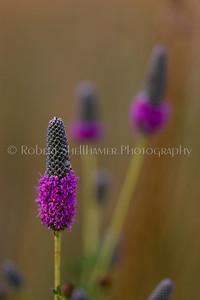 Prairie Wildflower