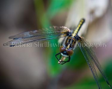 Shellhamer_Nature_Dragon1