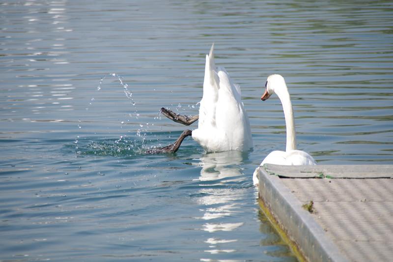 Swan diving below the water