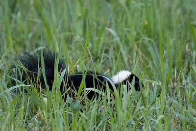 Skunk-65