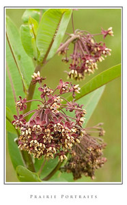 Prairie Plants